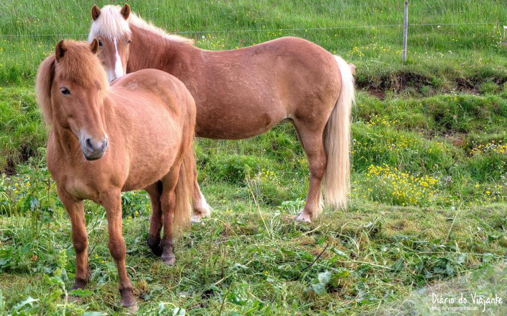 Islândia: O cavalo Islandês de raça pura | Diário do Viajante