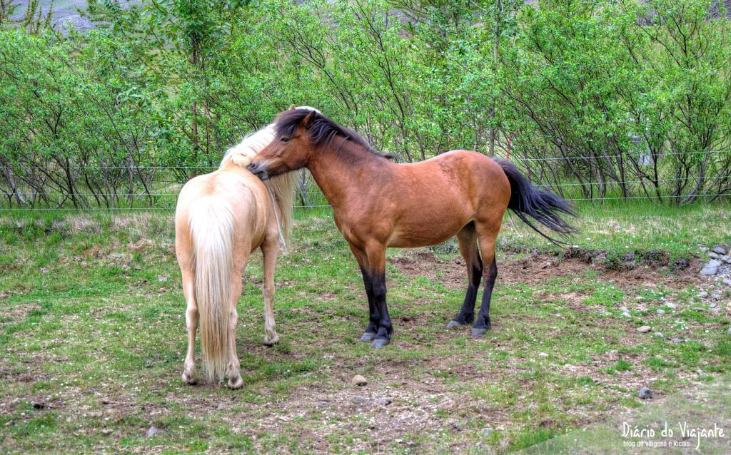 O cavalo Islandês de raça pura | Islândia